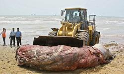 عکس : نهنگ 9 متري در ساحل بندر مغان