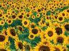 گالری عکسهای زیبا از گلها