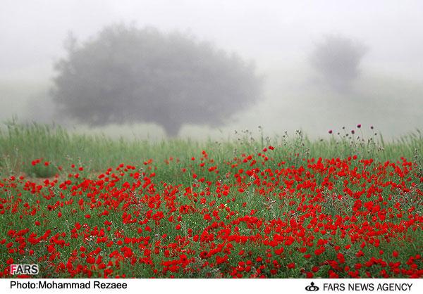 عکس : دشت گل شقایق