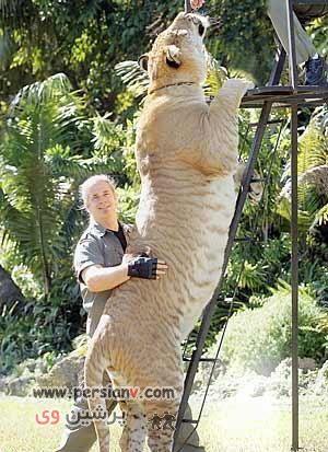عکس های دیدنی ازپیوند جالب شیرنر با ببر ماده و بدنیا آمدن حیوان جدیدی که تا به حال ندیده اید