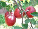 تصویری : تزیین سیب به شکلی متفاوت و زیبا