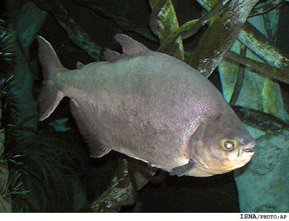 ماهي 43 ساله در آمريكا