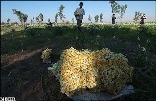 تصاوير دیدنی : برداشت گل نرگس در بهبهان