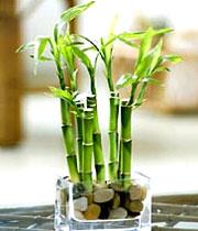 بامبو فقط برای تزئین نیست