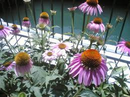 این گیاه برای مقابله با سرماخوردگی بسیارموثر است