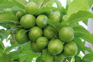 خواص پزشکی گوجه سبز