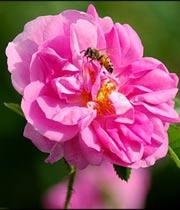 خواص درمانی گل و گلاب