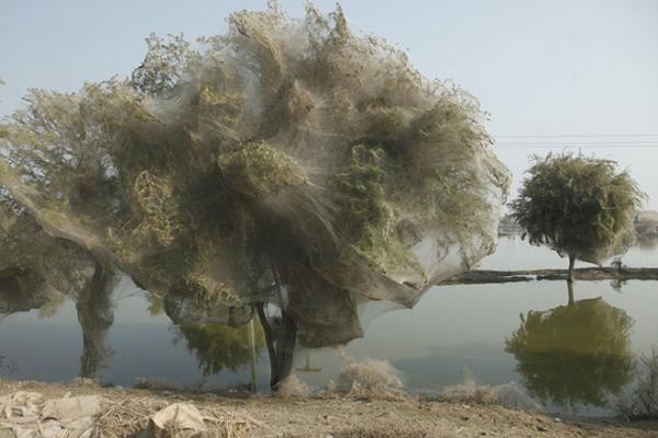 درختان پوشیده با تار عنکبوت