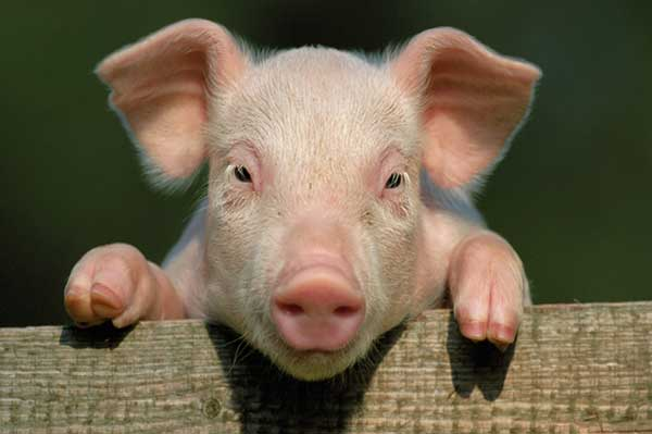 چرا در اسلام و یهودیت مصرف گوشت خوک ممنوع می باشد؟