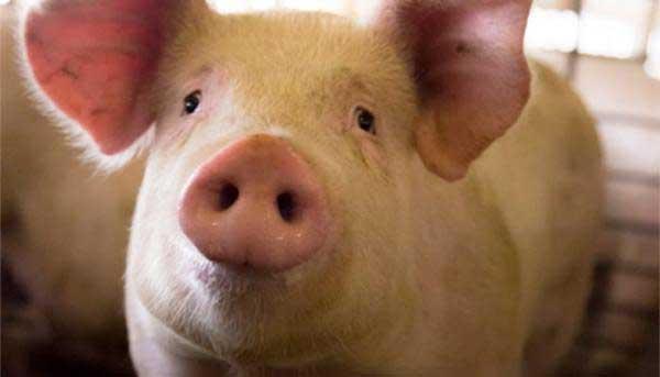 علت حرام بودن گوشت خوک
