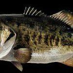 طرز تهیه ماهی سوف یا سفید(کباب)