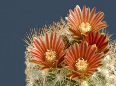 عکس : زیباترین گل های کاکتوس