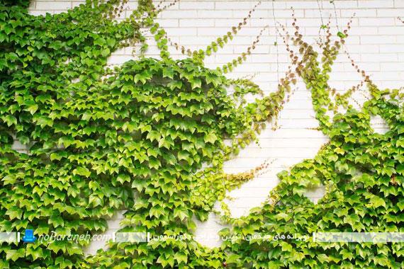 تزئین نمای بیرونی و دیوار خارجی ساختمان با گیاهان چسبیده+تصاویر