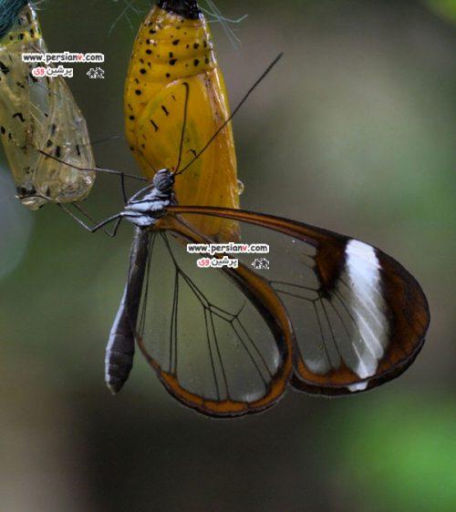 تصاویر منحصر به فرد پروانه شیشه ای +عکس
