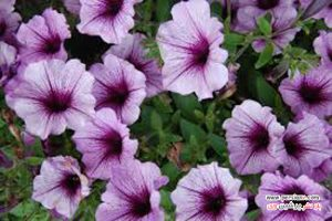 گل شگفت انگیز اطلسی آسمان شب به هیچ وجه شبیه گل های اطلسی مادربزرگتان نیست!