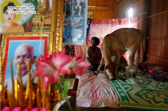 یک گوساله شوهر زن کامبوجی
