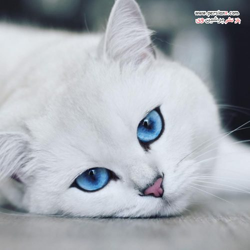 گربه چشم آبی اینستاگرام