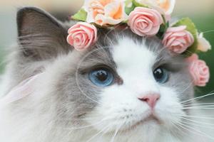 گربه معروف اینستاگرامی با مسحورکننده ترین چشمان آبی دنیا!