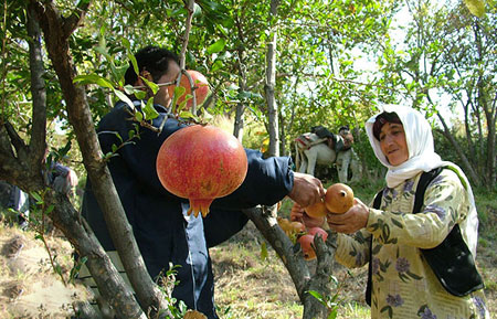 آداب و رسوم برداشت محصولات کشاورزی در قزوین