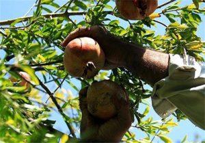 جشن برداشت محصول در قزوین