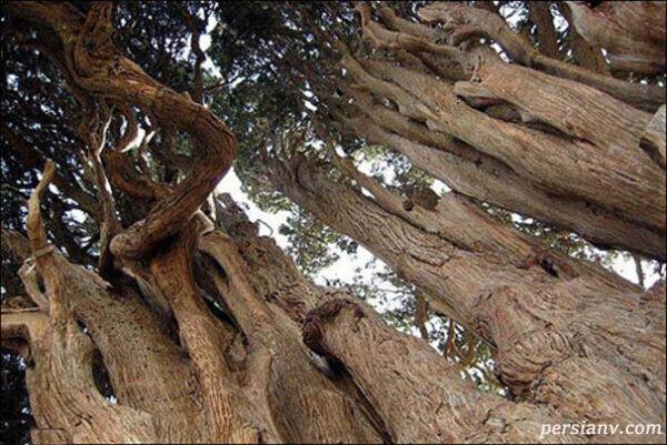 کهنترین درختان جهان