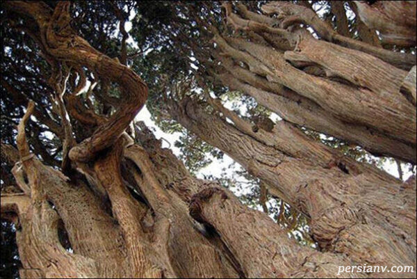 کهنترین درختان جهان در یزد