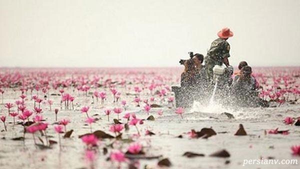 دریاچه نیلوفر تایلند دریاچه ای بسیار زیبا با گل های نیلوفر