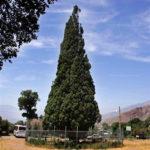 درخت سرو کهنسال و با ابهت هرزویل