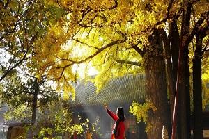 کهندار, درختی ۱۱۰۰ ساله در چین+تصاویر