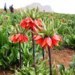 روستای دره بید زیبایی های بی نظیر گل های واژگون را اینجا ببینید