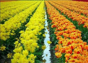 هلند سرزمین گل لاله را بشناسید+تصاویر