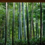جنگل طبیعی بامبو در ژاپن +تصاویر