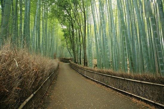 جنگل بامبو ساگانو در کیوتو