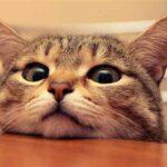 درد آرتروز در گربه ها