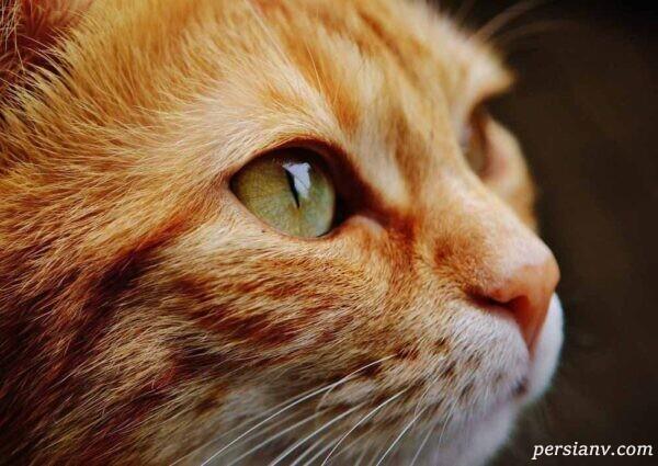 درمان آرتروز در گربه