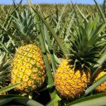 آناناس به هضم غذا کمک میکند