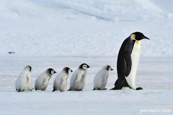 آشنایی با زندگی پنگوئن امپراتور قطب جنوب