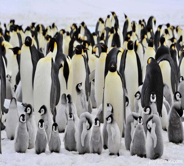 پنگوئن امپراتور قطب جنوب