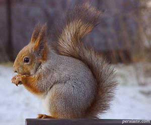 نگهداری سنجاب