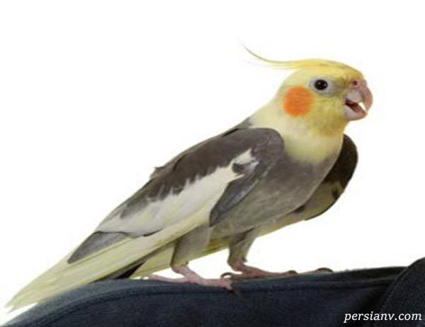 از پرنده عروس هلندی و نگهداری آن چه میدانید؟