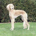 سگ سالوکی چه حیوانی است؟