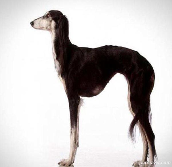 سگ سالوکی اصیل
