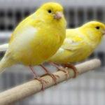 نگهداری قناری ها این پرندگان خوش آواز