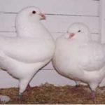 هر آنچه که باید درباره کبوترها بدانید
