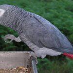 پرنده کاسکو و تدابیری برای خرید این پرنده