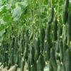 کاشت و پرورش خیار گلخانه ای چگونه است؟