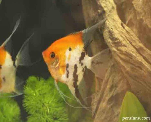از ماهی آنجل چه میدانید؟ + تصاویر