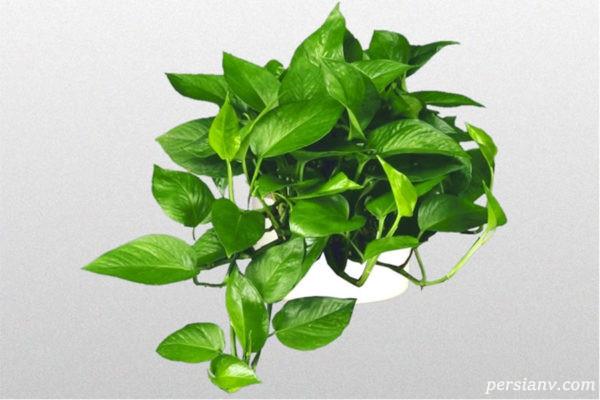 از نگهداری پوتوس مهمترین گل آپارتمانی چه میدانید؟