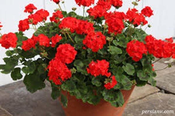 پرورش و نگهداری گل شمعدانی