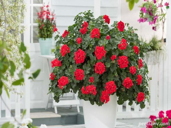 از پرورش و نگهداری گل شمعدانی چه میدانید؟